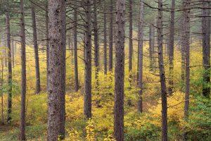 Een gele zee van verkleurde Amerikaanse vogelkers tussen boomstammen van naaldbos tijdens herfst in de Schoorlse Duinen