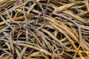 Aangespoelde, bruine slierten van riemwier (Himanthalia elongata) langs de vloedlijn op het Kennemerstrand bij IJmuiden.