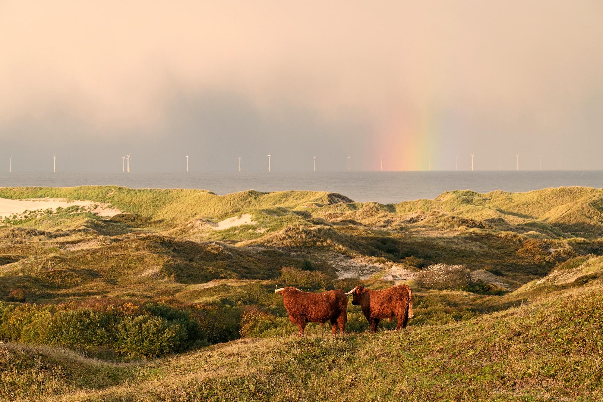 Schotse hooglanders op duintop met uitzicht op zee, regenboog en windmolens tijdens zonsopkomst in Noordhollands Duinreservaat bij Egmond - © Ronald van Wijk