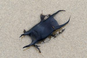 Aangespoeld zwart, leerachtig en glad eikapsel van een rog op het strand bij Castricum aan Zee