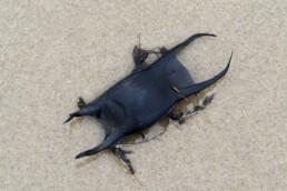 Aangespoeld zwart, leerachtig en glad eikapsel van een rog op het strand bij Castricum - © Ronald van Wijk Natuurfotografie