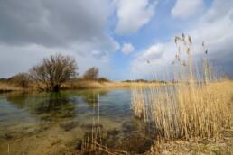 Natuurvriendelijke oever met rietkraag langs infiltratiekanaal in het waterwingebied bij Castricum in het Noordhollands Duinreservaat - © Ronald van Wijk Natuurfotografie