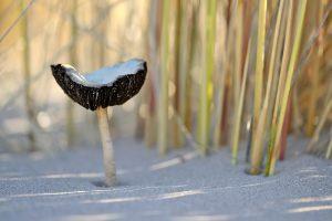 Duinfranjehoed (Psathyrella ammophila) tussen de stengels van helmgras op het kale duinzand van de zandverstuiving Van Limburg Stirum Vallei in de Amsterdamse Waterleidingduinen bij De Zilk.