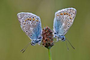 Icarusblauwtjes (Polyommatus icarus) met gesloten vleugels rustend op een plant in zacht zonlicht tijdens zonsondergang in het Zwanenwater