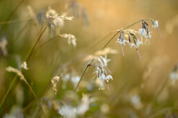 Warm licht van zonsondergang schijnt op (Silene nutans) witte bloemen van nachtsilene in het Noordhollands Duinreservaat bij Wijk aan Zee - © Ronald van Wijk Natuurfotografie