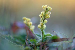 Gele, hartvormige doosvruchten van mannetjesereprijs (Veronica officinalis) in het Noordhollands Duinreservaat bij Egmond.
