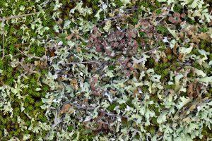 Bruin bekermos (Cladonia grayi) tussen zomersneeuw en zandhaarmos in de duinen van het Zwanenwater bij Callantsoog.