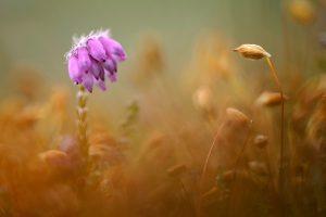 Paarse, bolvormige bloemen van gewone dophei tussen bruine gloed van mossen in een natte duinvallei in het Nationaal Park Duinen van Texel bij De Koog