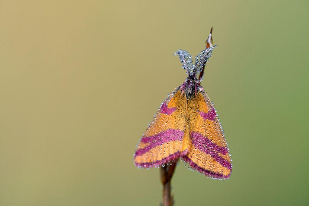 Dauwdruppels op vleugels en voelsprieten van zuringspanner (Lythria cruentaria) tijdens zonsopkomst in het Noordhollands Duinreservaat