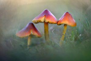 Drie zwartwordende wasplaat (Hygrocybe conica) naast elkaar tussen het gras in het Nationaal Park Duinen van Texel bij Den Hoorn