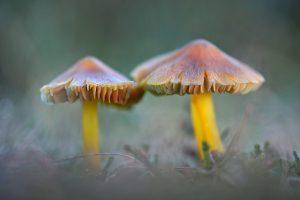 Zwartwordende wasplaat (Hygrocybe conica) tussen het gras in de duingraslanden van het Nationaal Park Duinen van Texel bij Den Hoorn