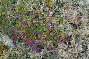 Paarse bloemetjes van grote tijm (Thymus pulegioides) tussen rendiermos in de duingraslanden van het Noordhollands Duinreservaat bij Bakkum.