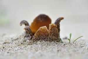 Zandkorrels op lobben van stervormige zandtulpje (Peziza ammophila) op het zand in de zeeduinen van het strand Heemskerk