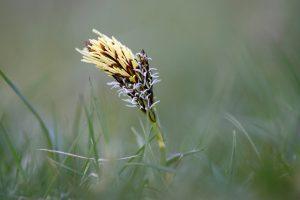 Bloeiende voorjaarszegge tussen het gras van de duingraslanden in het Noordhollands Duinreservaat bij Bakkum.