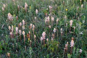 Stengels en witte, buisvormige bloemen van bitterkruidbremraap (Orobanche picridis) in het zeedorpenlandschap van het Noordhollands Duinreservaat bij Wijk aan Zee.