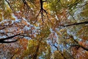 Boomtoppen van beuken met verkleurde bladeren tijdens herfst in de Schoorlse Duinen