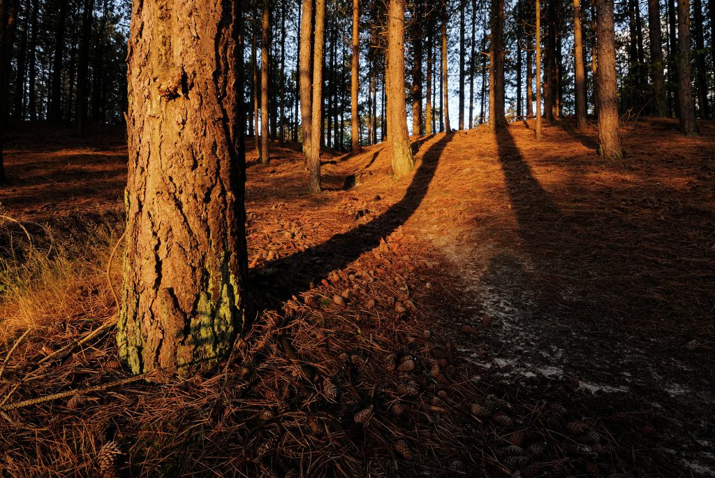 Warm licht en lange schaduwen van bomen tijdens zonsopkomst in het naaldbos van de Schoorlse Duinen.