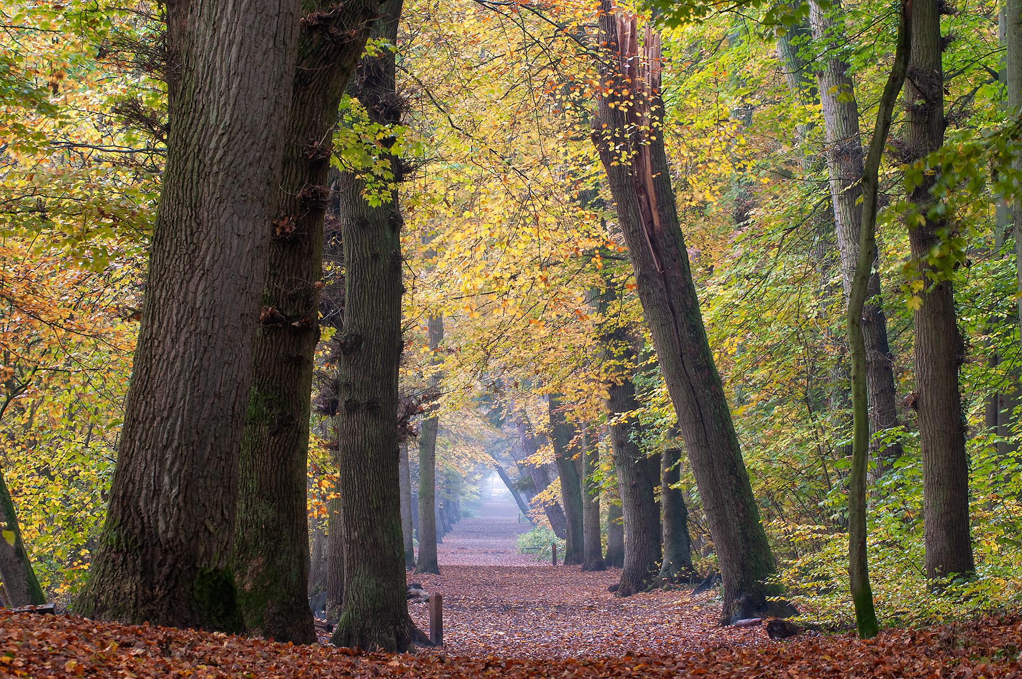 Beuken en eiken langs bomenlaan tijdens herfst in het bos van het Noordhollands Duinreservaat bij Bergen