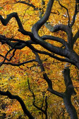 Slingerende takken en geel blad van beuk (Fagus sylvatica) tijdens herfst in het bos van het Noordhollands Duinreservaat bij Bergen