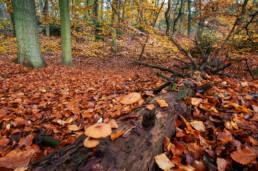 Gevallen, dode boom bedekt met paddenstoelen tijdens herfst in het bos van het Noordhollands Duinreservaat bij Bergen
