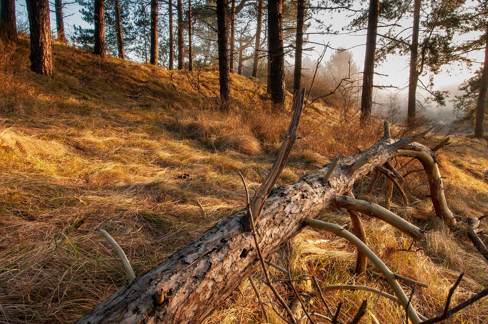 Warm licht van zonsopkomst schijnt op gevallen boom in het naaldbos van Nationaal Park Zuid-Kennemerland bij IJmuiden