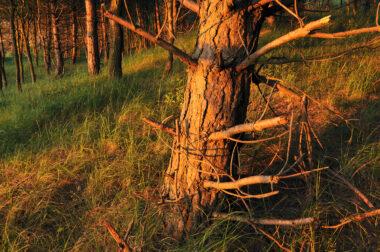 Laatste warme licht van zonsondergang schijnt op de boomstammen van een naaldbos in het Noordhollands Duinreservaat bij Heemskerk.