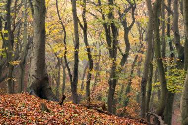 Kronkelende boomstammen en takken van beukenbos tijdens herfst in het Noordhollands Duinreservaat bij Bergen.