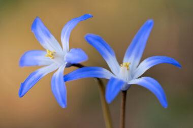 Twee blauwe bloemen van Grote sneeuwroem (Scilla siehei) tijdens lente in het bos van het Noordhollands Duinreservaat bij Bakkum.