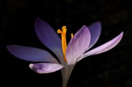 Zonlicht schijnt door paarse bloem van boerenkrokus (Crocus tommasinianus) tijdens lente in het Noordhollands Duinreservaat bij Bakkum.