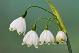 Dauwdruppels op de witte bloemen van zomerklokje (Leucojum aestivum) tijdens lente op Landgoed Elswout in Overveen
