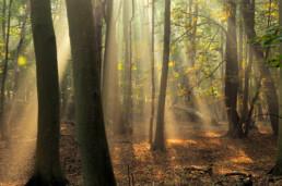 Lichtstralen van de zon spreiden zich uit langs boomstammen en takken van een mistig beukenbos in de Amsterdamse Waterleidingduinen bij Vogelenzang.