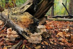 Omgevallen, met paddenstoelen bedekte boomstam ligt op de grond in het bos tijdens herfst van Landgoed Elswout bij Overveen.