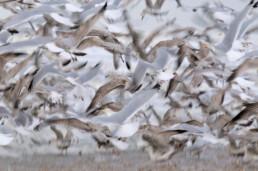 Een grote groep meeuwen vliegt plotseling op langs de vloedlijn op het strand van Wijk aan Zee.