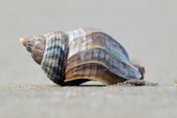 Aangespoelde schelp van een wulk (Buccinum undatum) op het zand van het strand in Wijk aan Zee