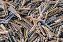 Massa aangespoelde schelpen van Amerikaanse zwaardschede (Ensis directus) na een storm op het strand van Wijk aan Zee.