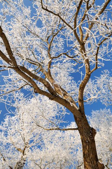 Met sneeuw bedekte stammen en takken van bomen op een mooie, zonnige winterdag in het Noordhollands Duinreservaat bij Heemskerk.