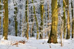 Zonlicht schijnt op boomstammen in een met sneeuw bedekt beukenbos in het binnenduin van het Noordhollands Duinreservaat bij Heemskerk.