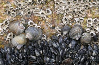 Verzameling van alikruiken (Littorina littorea), mosselen en zeepokken op een kei van een strekdam bij de Hondsbossche Zeewering bij Petten.