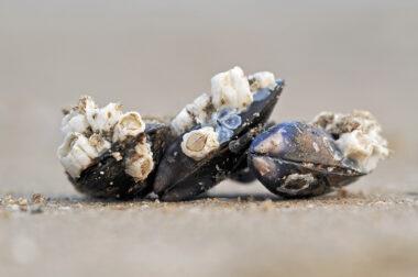 Aangespoelde, met zeepokken bedekte schelpen van mosselen (Mytilus edulis) langs de vloedlijn op het Kennemerstrand bij IJmuiden.