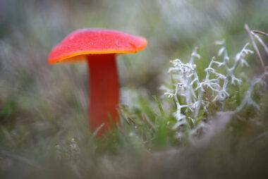 Felrode steel en hoed van gewoon vuurzwammetje (Hygrocybe miniata) tussen mos en gras tijdens herfst in de Amsterdamse Waterleidingduinen bij Vogelenzang.