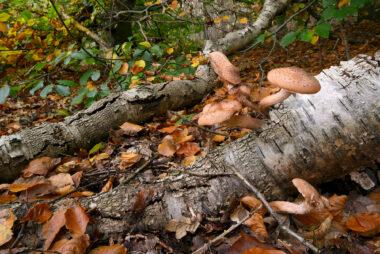 Sombere honingzwam (Armillaria ostoyae) op een dode berkentak in het bos van het Noordhollands Duinreservaat bij Bergen.