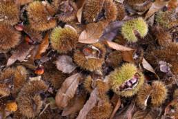 Gevallen blad, kastanjes en stekelige bolsters van tamme kastanje (Castanea sativa) verspreid over de grond in het bos van de Schoorlse Duinen bij Bergen.