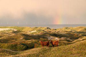 Schotse hooglanders op duintop met uitzicht op zee, regenboog en windmolens tijdens zonsopkomst in Noordhollands Duinreservaat bij Egmond.