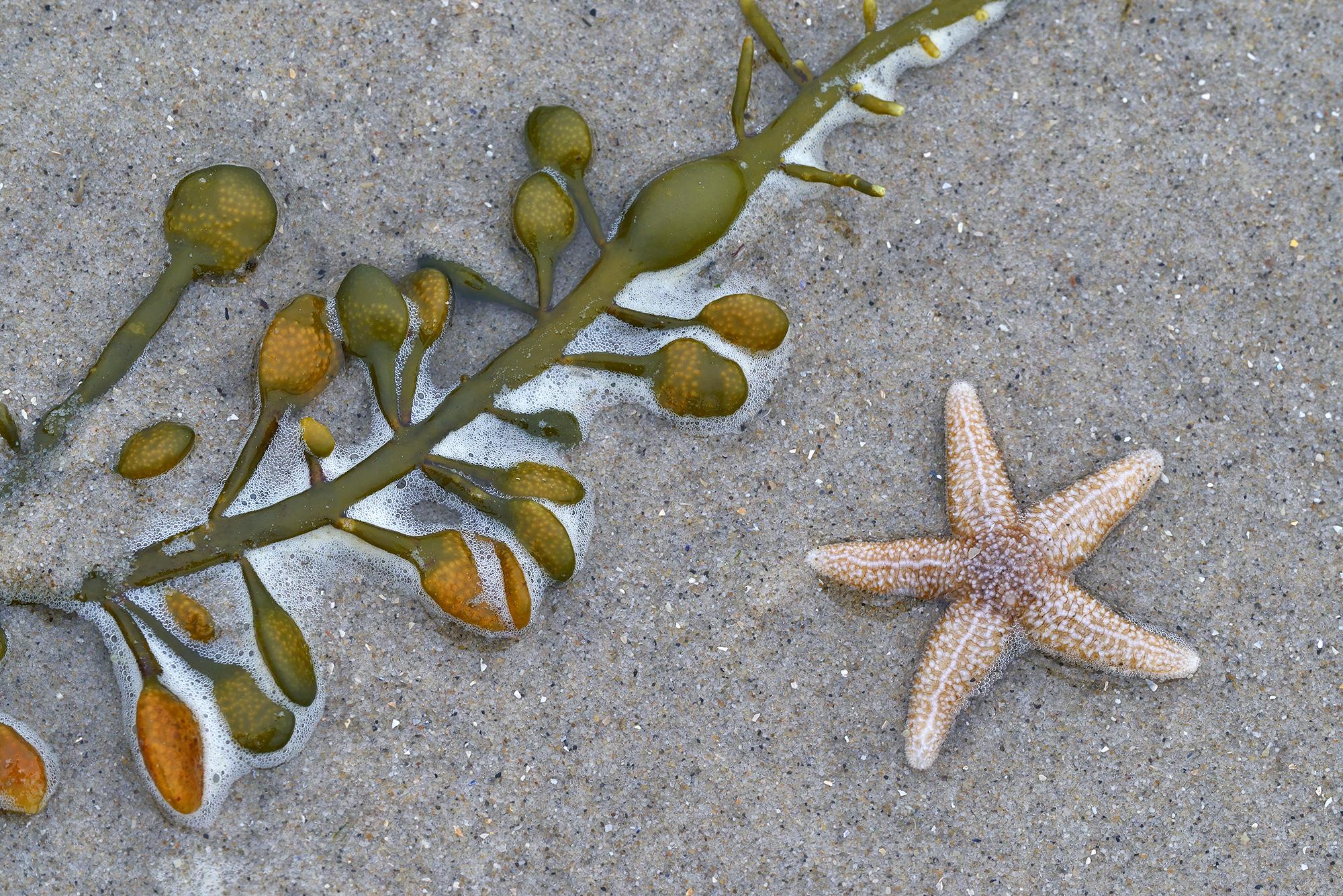 Aangespoelde zeester (Asterias rubens) en zeewier langs de vloedlijn op het strand van Castricum aan Zee.