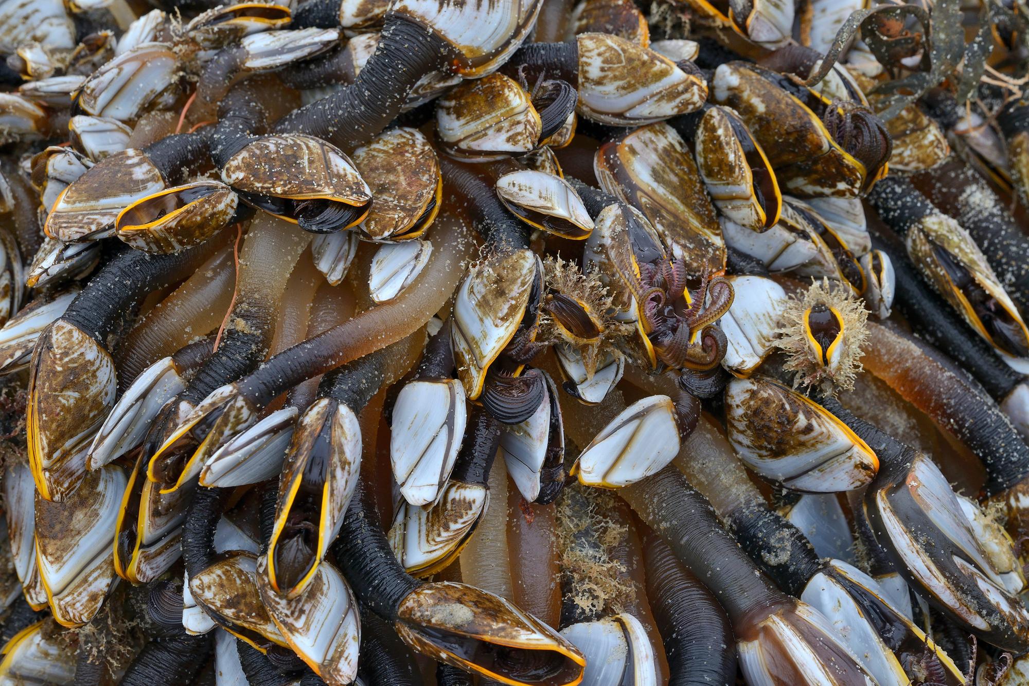 Eendenmosselen (Lepadidae) op een aangespoeld stuk drijfhout na storm op het strand van Castricum aan Zee.