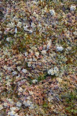 Veenmossen (Sphagnum) langs de waterkant van poel in de Amsterdamse Waterleidingduinen bij Vogelenzang