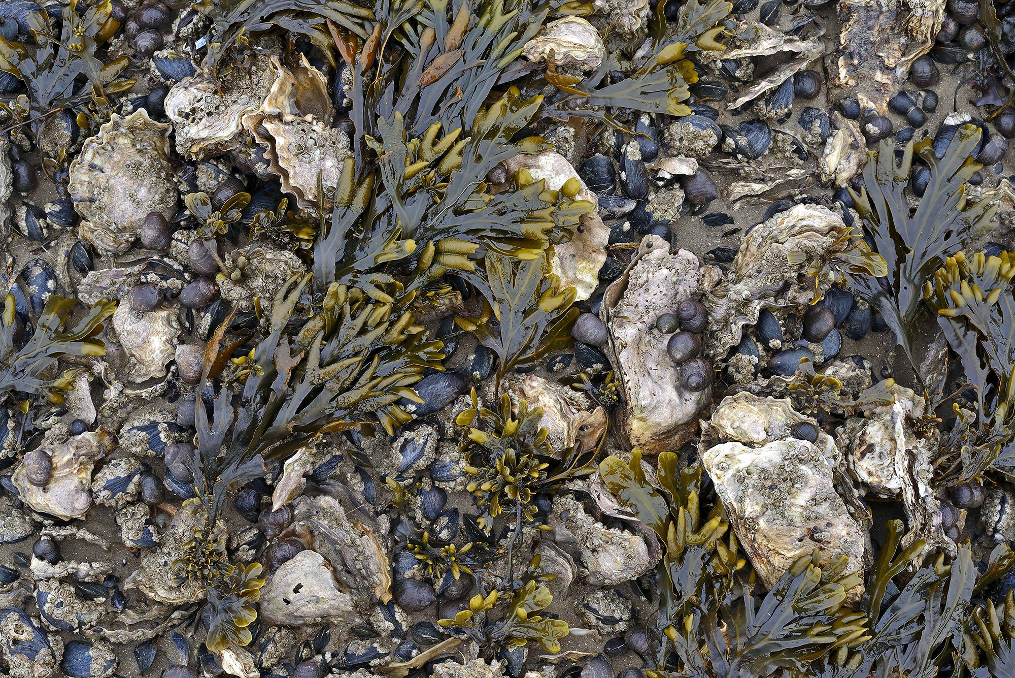 Drooggevallen oesters, mosselen, alikruiken en wieren op een kleine oesterbank tijdens laagwater in de Waddenzee bij Texel.
