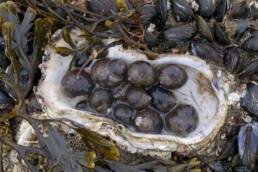 Alikruiken (Littorina littorea) in een oesterschelp tijdens laagwater bij de Waddenzeedijk op op het eiland Texel.