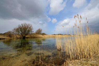 Oever met rietkraag langs infiltratiekanaal met helder water in het waterwingebied van het Noordhollands Duinreservaat bij Castricum.