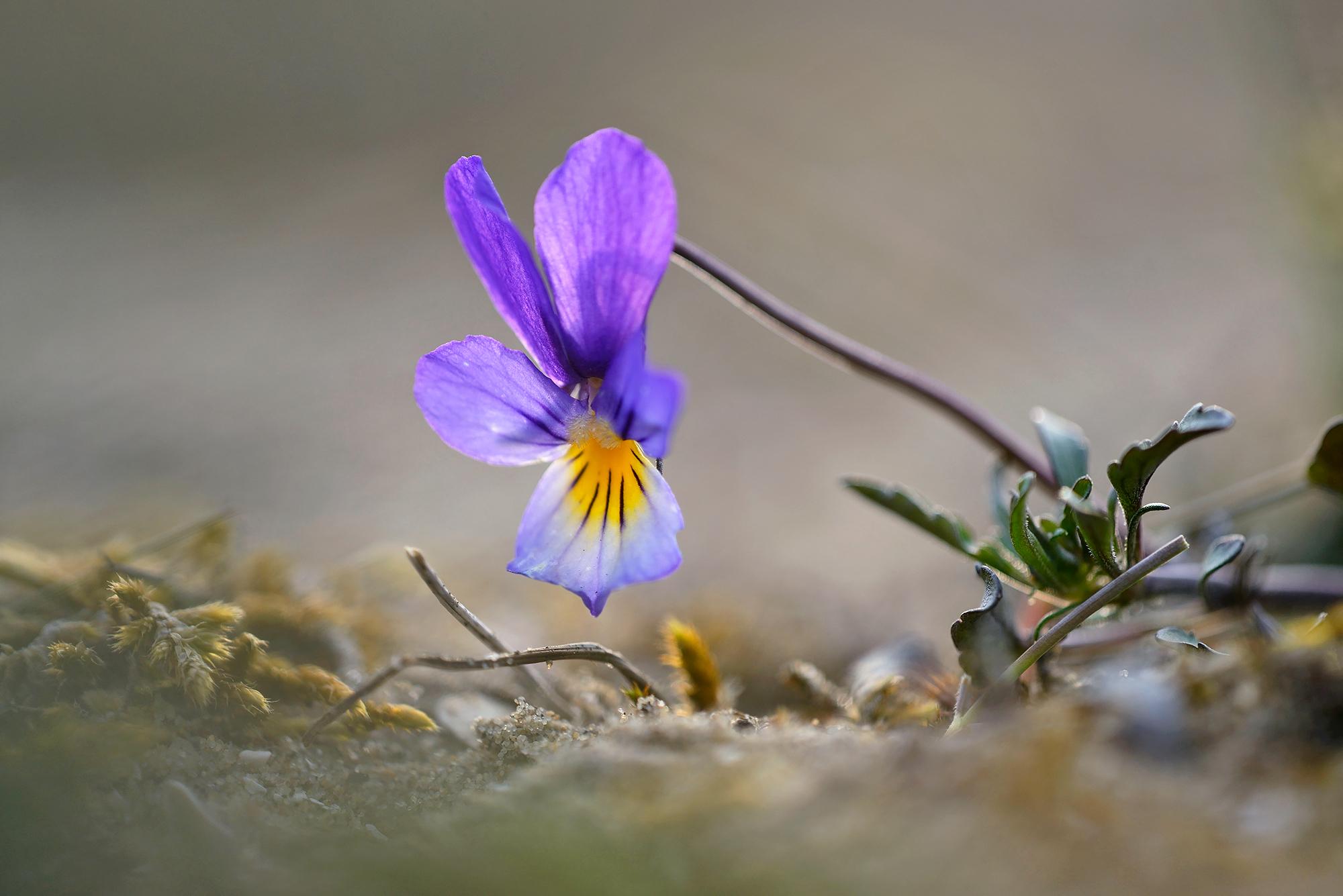 Blad, stengel en paarsblauwe bloem van duinviooltje (Viola curtisii) op een zanderige duinhelling in het Noordhollands Duinreservaat bij Bakkum.